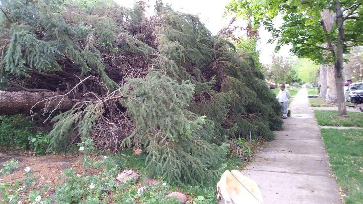 tree down 1